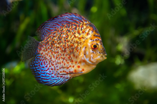 Discus in an aquarium on a green background Canvas-taulu