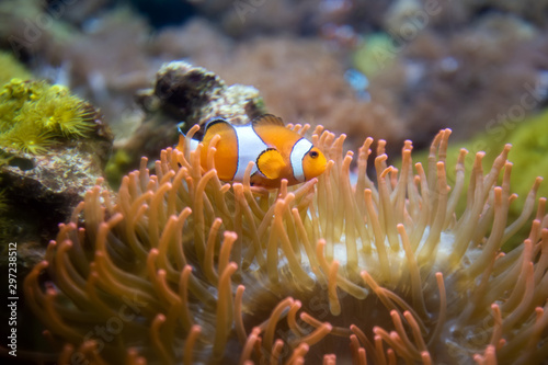 Clown Anemonefish, Amphiprion percula, swimming among the tentacles Canvas-taulu