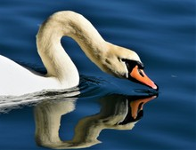 Reflection Of A White Swan In The Water