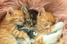Cute Little Kittens Sleeping On Pink Furry Blanket, Closeup