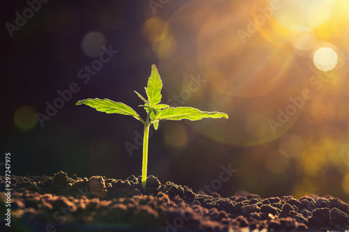 Photo  young plant of cannabis in the garden with sunshine