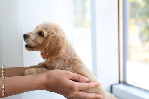 Obraz Cute English Cocker Spaniel puppy with owner near window indoors - fototapety do salonu