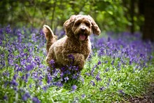 Cockerpoo In The Bluebells