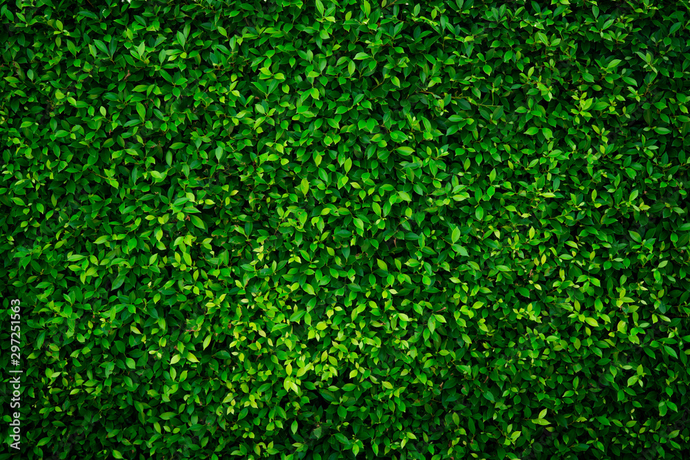 Fototapeta Small green leaves texture background with beautiful pattern. Clean environment. Ornamental plant in the garden. Eco wall. Organic natural background. Many leaves reduce dust in air. Tropical forest.