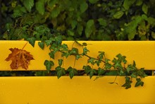 Yellow Back Of A Wooden Bench With Autumn Yellow Maple Leaf And Green Branches Of A Loach