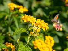 Hummingbird Hawk-moth Macroglossum Stellatarum Hovering Over A Flower