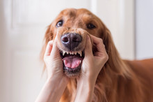 Grimace With Golden Retriever By Hand