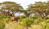 Fototapeta Sawanna - Elephants walk through the jungle amidst a lot of bushes