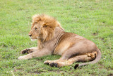 Fototapeta Sawanna - Big lion resting in the grass in the meadow