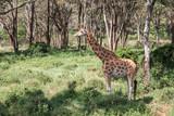 Fototapeta Sawanna - A pregnant giraffe stands in the bushes