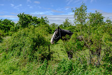 Large Shire Horse Seen Eating ...