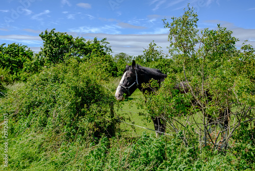 Fotomural Large shire horse seen eating some of the hedgerow in which the horse is paddocked in this rural English location, seen in summer