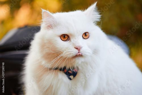 Beautiful Turkish Angora cat with long white hair Wallpaper Mural