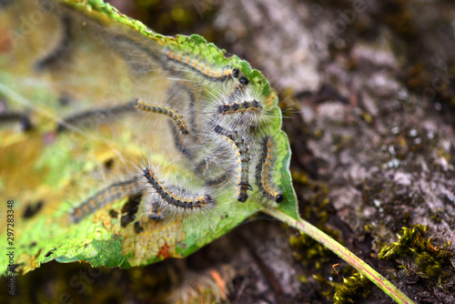 Photo Caterpillars of the Aporia crataegi (black-veined white) eating apple leaves, cl