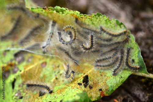 Caterpillars of the Aporia crataegi (black-veined white) eating apple leaves, cl Wallpaper Mural