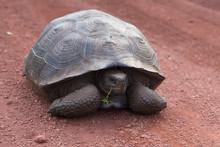 Galapagos Giant Tortoise Seen ...
