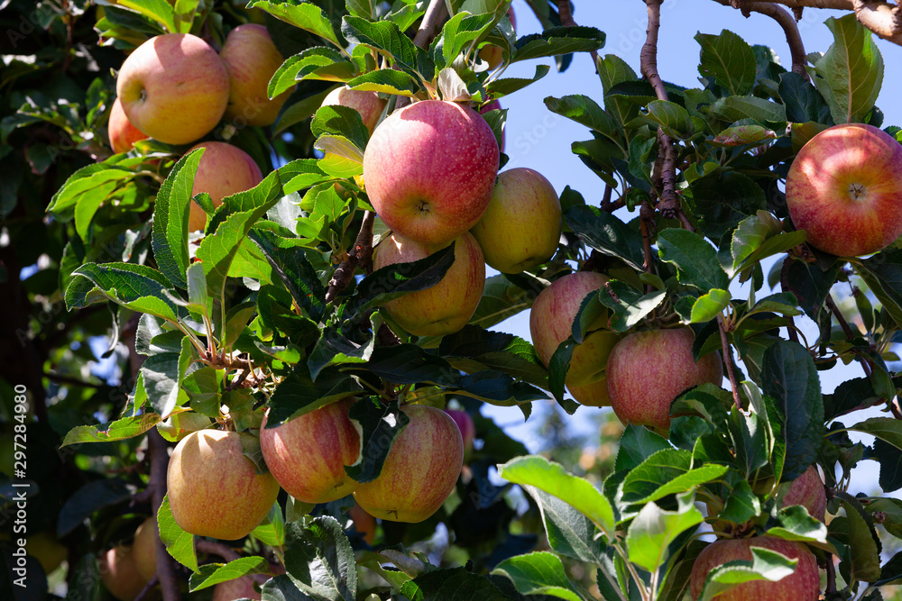 Fototapety, obrazy: Ripe apples on tree branches