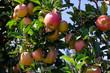 Leinwanddruck Bild - Ripe apples on tree branches