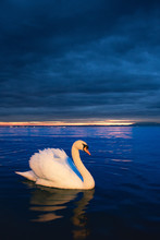 Swan At Blue Hour