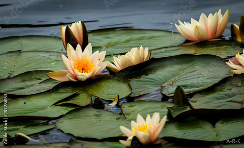 Door stickers Water lilies pink water lily in pond