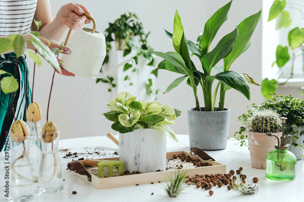 Fototapeta Woman gardeners watering plant in marble ceramic pots on the white wooden table. Concept of home garden. Spring time. Stylish interior with a lot of plants. Taking care of home plants. Template.