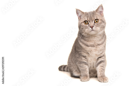 Fotografía Pretty sitting silver tabby british shorthair cat looking at the camera isolated