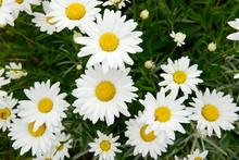 White Flower Marguerites Flowering  In The Nature