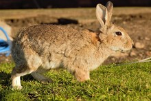A European Rabbit (Oryctolagus...