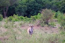 Single Eland Standing In Bush