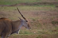 Single Eland Standing In Savanna Of Masai Mara, Kenya, Africa. Side View