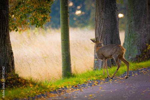 Montage in der Fensternische Reh Ein Reh überquert die Straße im Herbst - Allee auf Insel Rügen