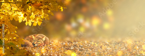 фотографія Autumn fabulous banner with red fox vulpes and branches with fall golden yellow maple leaves in fantasy forest on background of orange autumnal foliage and shiny glowing bokeh, place for your text