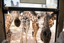 Several Giraffes Wait For Food At Bus Window