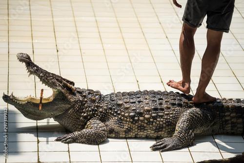 Foto auf Gartenposter Crocodile Crocodile huntsman massaging big alligator