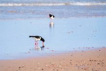 Oystercatchers Foraging For Fo...
