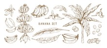 Banana Hand Drawn Monochrome Vector Illustrations Set. Banana Bunches, Palm Tree Leaves. Exotic And Tropical Fruit Engraved Drawings In Vintage Style. Ripe Healthy Fruit Isolated Design Elements.