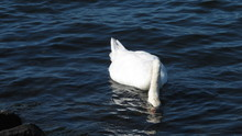 White Swans Swimming And Looki...