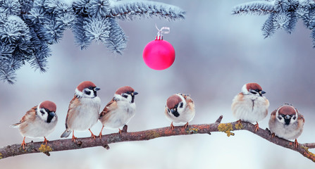FototapetaChristmas card with lots of cute little birds, the sparrows sitting in the winter garden under fir branch with ball