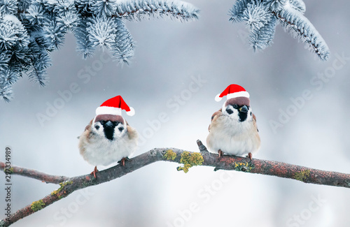Recess Fitting Bird festive new year card with two little funny birds sparrows sit in the winter garden under a spruce branch in red Santa hats