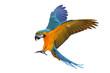 Leinwandbild Motiv Colorful flying parrot isolated on white, Freedom concept