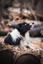Border Collie Dog Lies On The ...