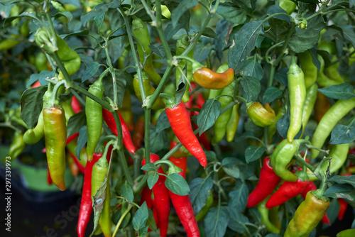 Canvas Prints Hot chili peppers Capsicum annuum