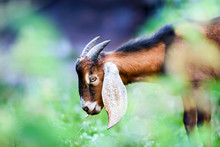 Anglo Nubian Goat Eating Grass...