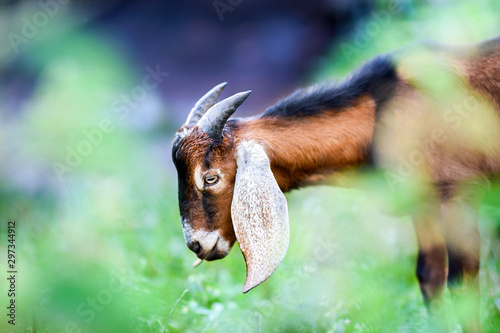 Anglo Nubian goat eating grass on beautiful meadow in summer time Canvas Print