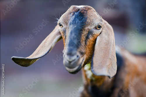 Photo Anglo Nubian goat eating grass on beautiful meadow in summer time