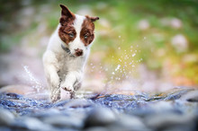 Small Brown Border Collie Is Running Through The Water With Flying Drops. Young Cub Of Dog Is Playing And Jumping In Shallow River.