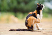 Tricolor Cat Paw Scratches Behind The Ear. Fleas And Ticks In Domestic Animals.
