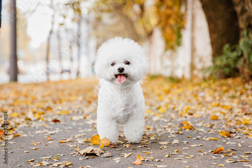 Canvas Print Bichon frize dog close up portrait. Autumn. Fall season