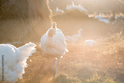 Fotografie, Tablou  The white Turkey is very large in the countryside