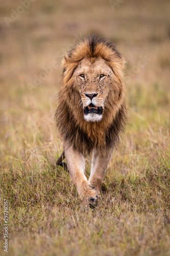 Male lion on the plains of the Masai Mara Game Reserve in Kenya Wallpaper Mural